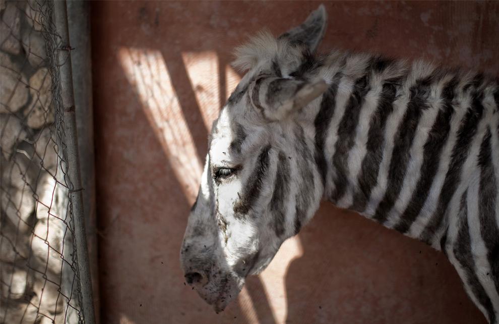 Gaza zebra