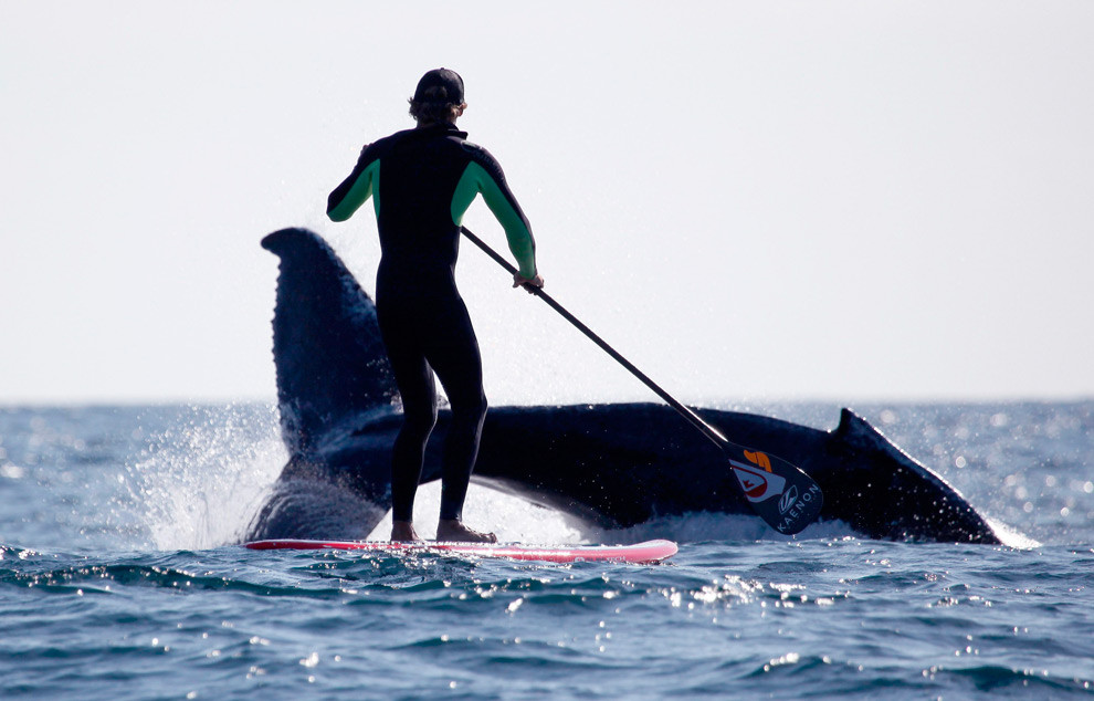Paddleboarding next to a whale