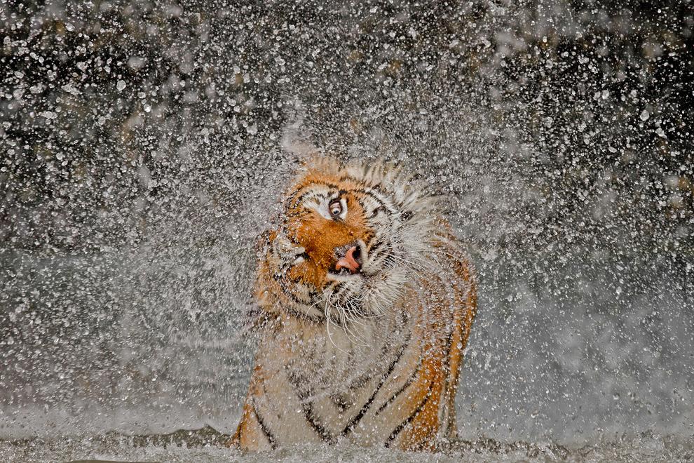 Tiger exploding